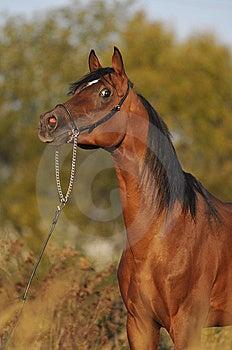 Brown Arabian Horse Stallion Portrait Stock Images - Image: 9465764