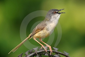 Wild Bird On Steel Wire Stock Image - Image: 9472431
