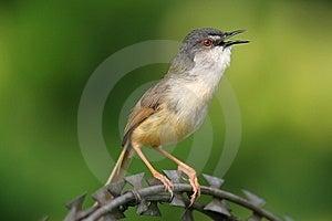 Wild Bird On Steel Wire Stock Photos - Image: 9472443