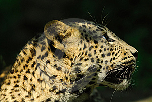 Sri Lanka Leopard Stock Photo - Image: 9472600