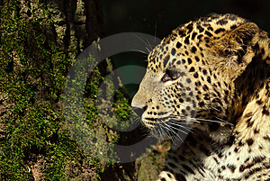 Sri Lanka Leopard Stock Image - Image: 9472691