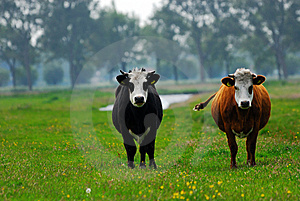 Cows On Farmland Royalty Free Stock Photo - Image: 9472755