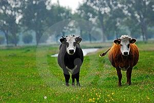 Cows On Farmland Royalty Free Stock Photo - Image: 9472755