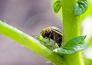 Colorado Beetle Royalty Free Stock Photos - Image: 9473468