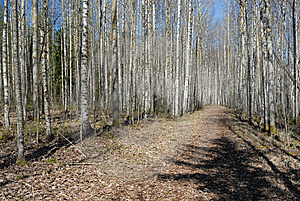 Birch Forest In Spring Royalty Free Stock Photos - Image: 9477498