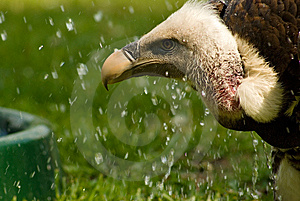 Predator Vulture Animal Stock Image - Image: 9479261