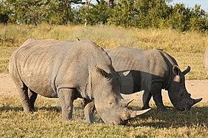 Rhino In Sabi Sand, South Africa Stock Image - Image: 9479601