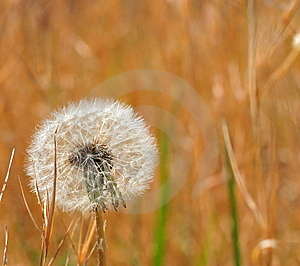 Backlit Dandelion Stock Photos - Image: 9480163