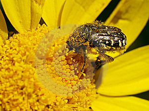 Bee And Yellow Flower Royalty Free Stock Photography - Image: 9480177