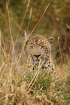 Leopard In Sabi Sand Private Reserve Royalty Free Stock Photography - Image: 9482257