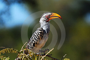 Southern Yellow-billed Hornbill Royalty Free Stock Image - Image: 9484076
