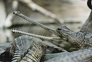 Gavial Royalty Free Stock Photos - Image: 9499748