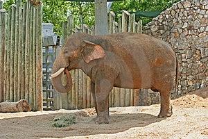 Vuxna Elefanter Arkivfoto - Bild: 954150