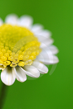 White Daisy Stock Photography - Image: 959042