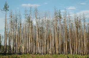 Dry Pine Forest Royalty Free Stock Photography - Image: 959197