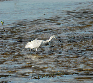 Hunter. Great White Egret Stock Photography - Image: 9500642