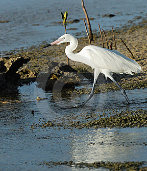 Great White Egret Royalty Free Stock Photography - Image: 9501297