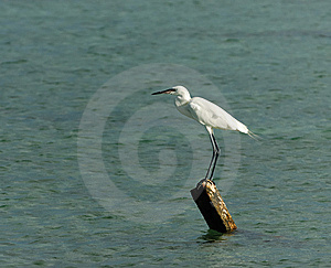 White Egret Royalty Free Stock Photography - Image: 9501427