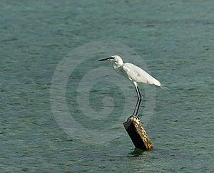 White Egret Royalty Free Stock Photography - Image: 9501427