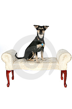Big Black And Tan Dog Sitting On The Furniture Royalty Free Stock Image - Image: 9502306