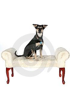 Big Black And Tan Dog Sitting On The Furniture Royalty Free Stock Image - Image: 9502306