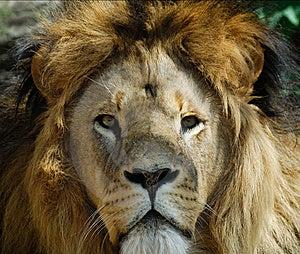 Male Lion Royalty Free Stock Photo - Image: 9510025