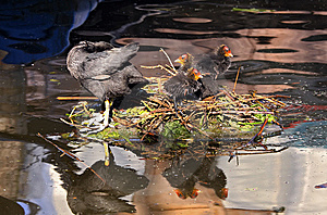Moorhen And Chicks Stock Images - Image: 9511384