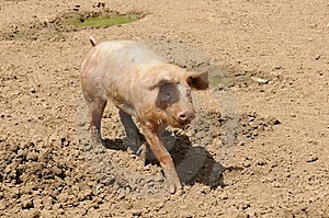 Farm Pig Stock Images - Image: 9511724