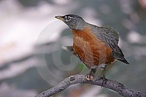 American Robin (Turdus Migratorius Migratorius) Royalty Free Stock Photo - Image: 9513605