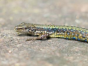 Lizard Stock Photos - Image: 9514543
