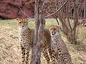 Two Cheetahs Royalty Free Stock Image - Image: 9524866