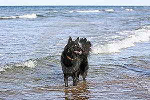 Belgium Shepherd Dog Royalty Free Stock Image - Image: 9532336