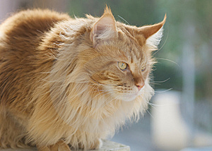 Persian Cat Royalty Free Stock Photos - Image: 9538278