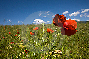 Poppies Stock Image - Image: 9541891