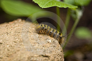 Tent Caterpillar (Washington State) Royalty Free Stock Images - Image: 9543879