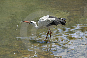 The White Stork Royalty Free Stock Photos - Image: 9543978