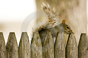 Squirrel Hiding Behind Fence Stock Photography - Image: 9544422