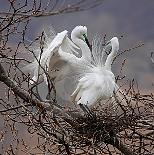 Aigrette Royalty Free Stock Photos - Image: 9551478