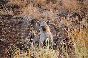 Young Spotted Hyaena (Crocuta Crocuta) Royalty Free Stock Photos - Image: 9557378
