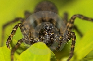 Jumping Spider (Salticidae) Stock Image - Image: 9557841