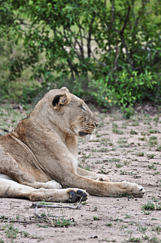 Lion Profile Stock Image - Image: 9560811