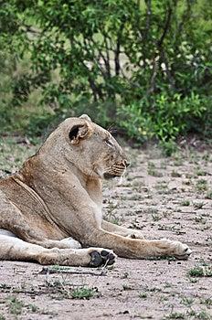 профиль льва Стоковое Изображение - изображение: 9560811