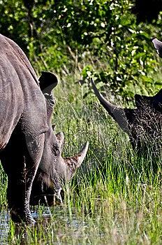De Hoornen Van De Rinoceros Stock Afbeeldingen - Afbeelding: 9560814