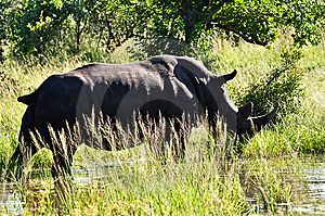 Rhino Grazing Royalty Free Stock Photo - Image: 9560825