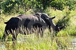 Rhino Grazing Royalty Free Stock Photo - Image: 9560825