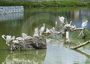 Pelicans Stock Photo - Image: 9568020