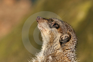 Meerkat Looking Up Stock Images - Image: 9569794