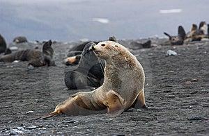 Seal Albino Royalty Free Stock Photos - Image: 9570408