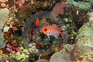 Blackbar Soldierfish (Myripristis Jacobus) Royalty Free Stock Photos - Image: 9572048