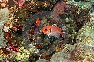 Blackbar Soldierfish (Myripristis Jacobus) Royalty Free Stock Photos - Image: 9572048